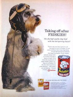 1960 Friskies dog food print ad featuring a  Mini Schnauzer in pilot helmet