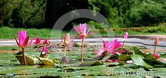 Beautiful blooming Red Lotuses in the pond.