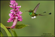 Booted Racket-tailed Hummingbird