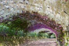 http://www.iwakuniexplorer.com/kawachi-fuji-gardens/