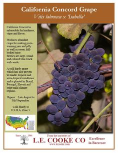 L e cooke company golden muscat grapes golden muscat for Table grapes zone 6