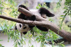 Image result for panda hanging upside down on branch