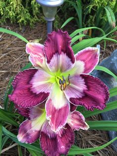 'Kaleidoscope Intrigue'  Daylilies forum: May 2015 Blooms (All Things Plants)