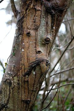 Natural face in a tree