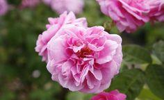 Rosen: Wildtriebe richtig entfernen -  Wildtriebe an Rosen fallen zunächst kaum auf, verändern mit der Zeit aber das Aussehen der gesamten Pflanze. So entfernen Sie die unerwünschten Triebe aus der Veredlungsunterlage.