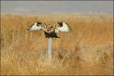 Rough-legged Hawk has a hard time getting a footing. USFWS Bear River Migratory Bird Refuge, Utah. Photo: Jennifer Bunker