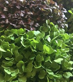 Eating healthy is beautiful with Micro Greens  #luchiacookbook #luchiachia #cookbook #chef #cheflife #culinary #culinarychef #chefconsultant #chefsofinstagram #healthylife #beautiful #healthyeating #amazing #healthy #organic #delicious #vegetables #foodie #foodblogger #foodmagazine #stanford #siliconvalley #sanfrancisco #bayarea #california