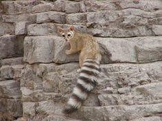 Arizona& State Mammal, the ring-tailed cat Reptiles, Mammals, Cute Baby Animals, Animals And Pets, Strange Animals, Let's Make Art, Funny Animal Photos, Cute Creatures, Animal Photography
