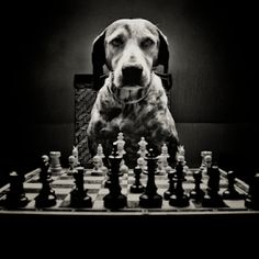 animals player chess - Buscar con Google