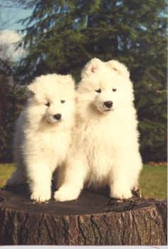 The Samoyed Dog  -  One of the oldest domesticated breeds of dogs, the Samoyed was bred and developed by the nomadic Samoyede tribes in Northeastern Siberia, east of the Ural Mountains, north of the Arctic Circle.
