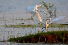 Egrets - zoltán kovács - Google+