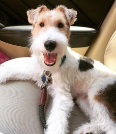 Things that make you go AWW! Like puppies, bunnies, babies, and so on. A place for really cute pictures and videos! Perro Fox Terrier, Wirehaired Fox Terrier, Wire Fox Terrier, Fox Terriers, Cute Puppies, Cute Dogs, Dogs And Puppies, Doggies, Beautiful Dogs