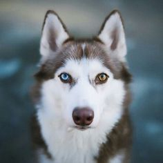 """1,035 Likes, 19 Comments - The Huskies diary (@huskiesdiary) on Instagram: """"Look into my eyes What an incredible shot captured by @benzzina Follow and tag your photos to…"""""""