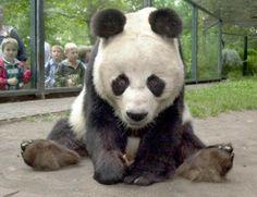 El panda Bao Bao comienza su vida pública en el zoo de Washington | USA Hispanic PressUSA Hispanic Press