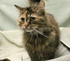 Turtles is a super sweet 5 year old girl. She is a Domestic Shorthair mix and is in need of a good home.