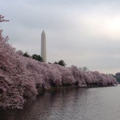 Cherry blossoms in Washington DC, Kelli is lucky enough to be there to witness this