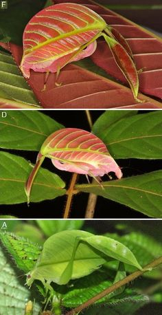 Eulophophyllum kirki--females are red and pink, males are green--Newly discovered in Borneo http://novataxa.blogspot.tw/2017/01/eulophophyllum.html?m=0