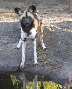 Hello There! African Painted Dog