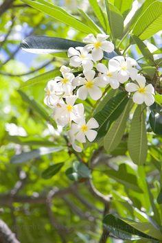 フォトグラファーMot:LOVE ハワイ & オーストラリア ♪ ~ 癒しの写真 & Daily Life~ Love Flowers, White Flowers, Beautiful Flowers, Plumeria Flowers, Hawaiian Flowers, Flowering Trees, Seychelles, Hana, Amazing Gardens