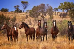 Meet the horses with no name: Brumbies are seen as our wild Australian spirit!
