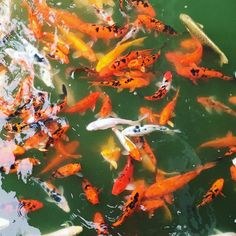 I think there's something great and generic about goldfish. They're everybody's first pet. #pond #goldfish #water #orange #green #white #fish #floting #biggoldfish
