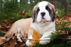 We used to have a beautiful Saint Bernard called Heidi ( she was a first prize winning show dog,)