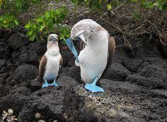 Galapagos - Ecuador. Piqueros de patas azules