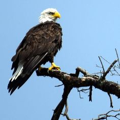 Viewer pic from Nisha Tailor:  Bald #eagle in Wentzville MO - #STL