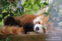 Red panda at Ichikawa City Zoo in Chiba prefecture, Japan