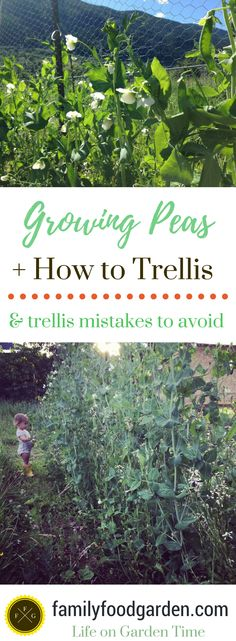 Learn the different types of peas you can grow, how to grow them and trellis mistakes to avoid