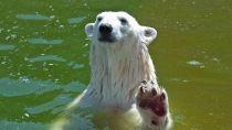 Preview polar bear, predator, scuba