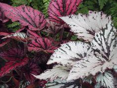 Begonia rex. Mucha L