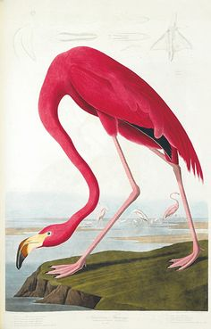 The American flamingo. Because it can stand up to five feet high, Audubon was obliged to depict the flamingo bending down, about to dip its ...