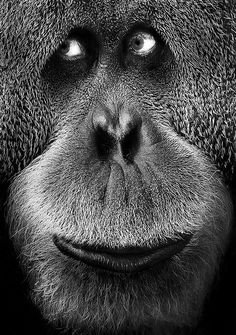 """Orangutan... you know he's thinking """"I have a lovely bunch of coconuts diddlie-do """""""