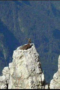 What a nice nest for an ole mountain goat to live and to survey territory k. What a nice nest for an ole mountain goat to live and to survey territory kingdom. Nature Animals, Animals And Pets, Funny Animals, Cute Animals, Beautiful Creatures, Animals Beautiful, Photo Animaliere, Tier Fotos, Mundo Animal