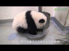 飲水盆的秘密 Secret Of Yuan Zai's Base - Water Bowl - YouTube