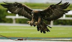 Tiger (the eagle). War Eagle!
