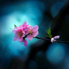 Sakura by Sushicam