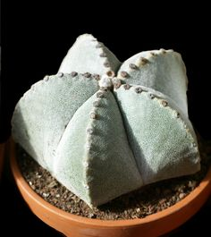 http://faaxaal.forumactif.com/t4360-photo-gratuite-de-cactus-cactus-mitre-d-eveque-astrophytum-myriostigma-bishop-s-cap-cactus-bishop-s-hat-bishop-s-miter-cactus#12487