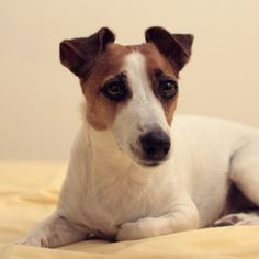#jackrussellterrier #dogs #pets #cute