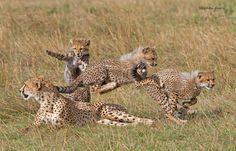 Cheetah cubs playing tag - aww!