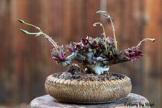 A 40-year-old Anacampseros telephiastrum.  Entire presentation (plant, pot and photo) by Keith Kitoi Taylor. masaker