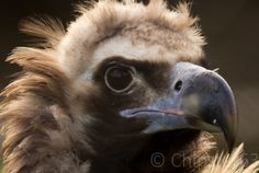 Chipster63 Photography: European Black Vulture