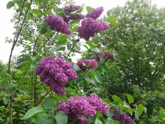 Check out my blog post!💥 Syringa vulgaris or smell of spring  https://mybotanicalgarden.wordpress.com/2015/05/21/syringa-vulgaris-or-smell-of-spring-2/?utm_campaign=crowdfire&utm_content=crowdfire&utm_medium=social&utm_source=pinterest