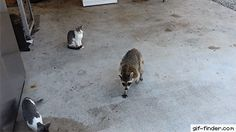 Rocky Raccoon steals cats' food