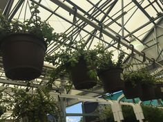 hanging succulents•