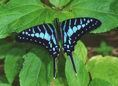 Turquoise-spotted Swordtail
