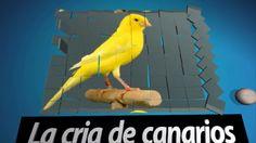 La cria de canarios ( higos secos para nuestros canarios y aves )