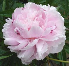 Can't wait for the brief glorious peony season.