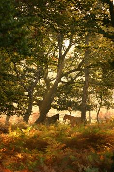 """༺♥༻New Forest Ponies, England. Have a bite at The Fallen Tree, or be brave and pack a picnic lunch! Make sure to see some New Forest Ponies! About 3,000 """"wild"""" ponies can be sighted wandering throughout the forest. Grab a pint at the nearby Foresters Arms."""